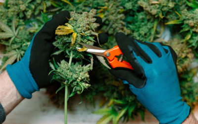 Cannabis Industry Abuzz With Business Opportunities